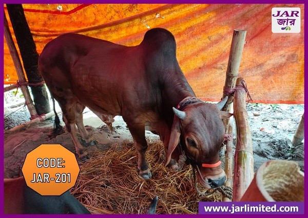 Native Breed Red Cow