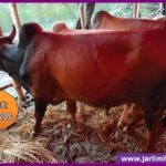 Native Breed Red and Black Cow