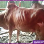 Native Breed Red and White Cow