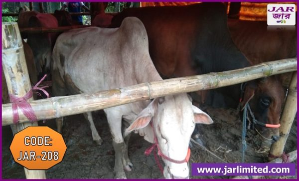 Native Breed White and Red Cow